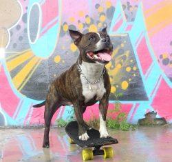 Rambo Staffi Skeittaava koira